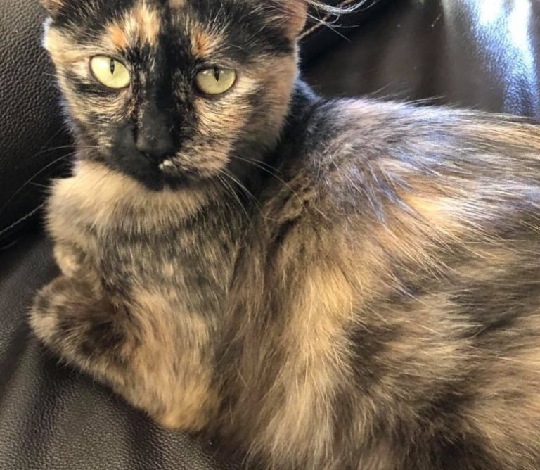 tortioiseshell cat