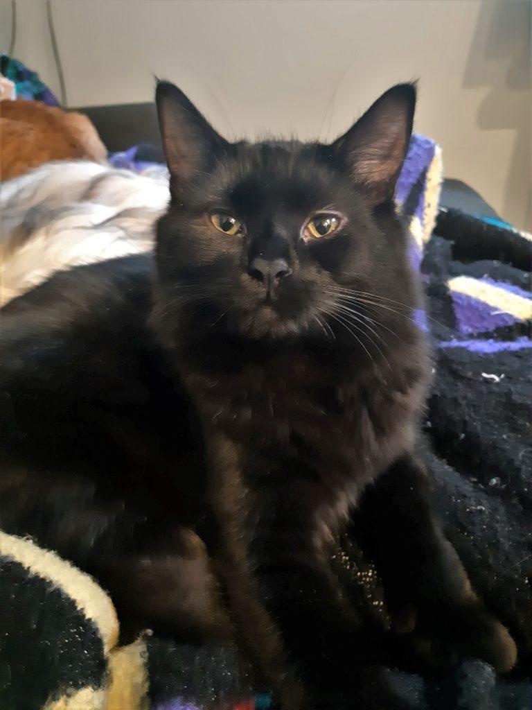 black longhaired cat