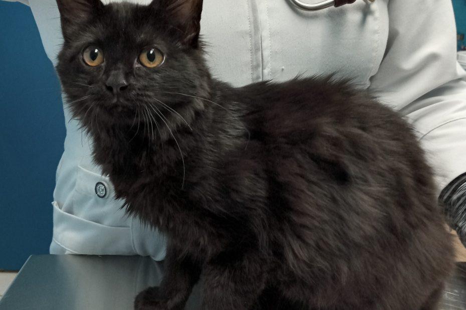 Black scruffy kitten
