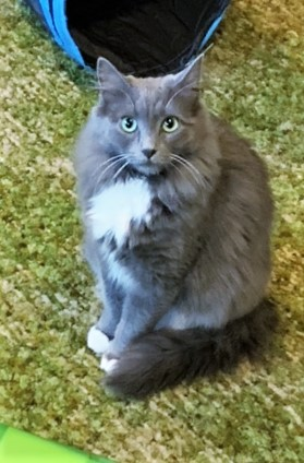 Grey & White Cat