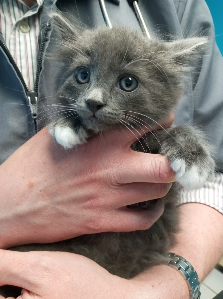 Grey & White longhaired kitten