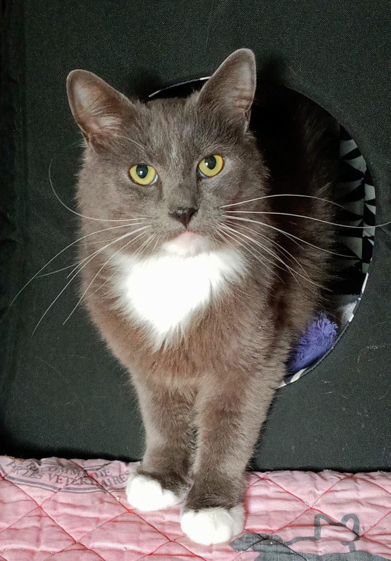 grey and white medium haired cat