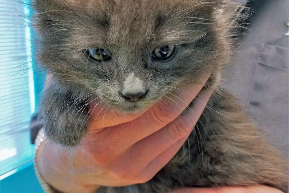 Grey longhaired kitten