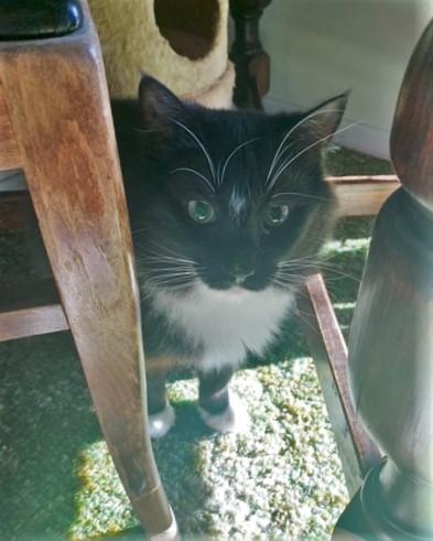 Tuxedo Longhaired Cat