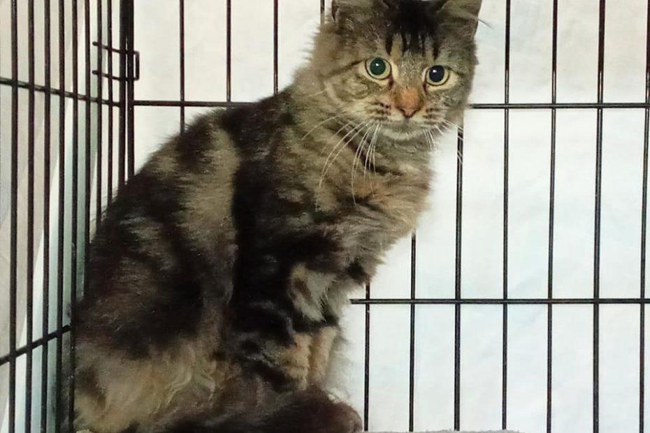 Longhaired tabby cat