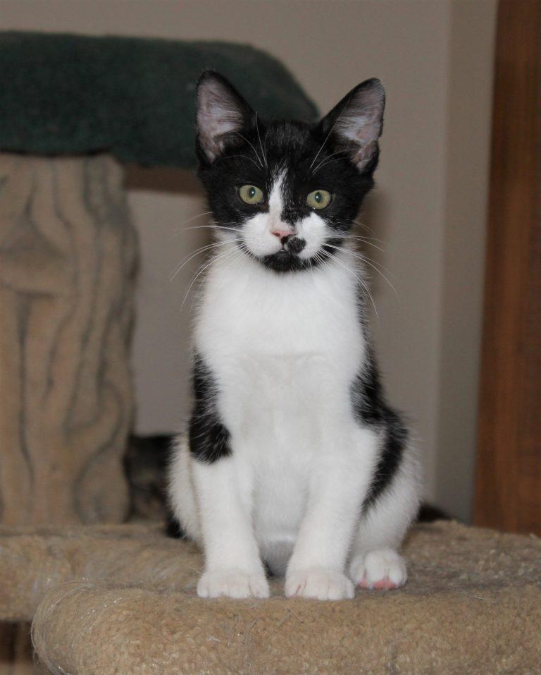 lack & white kitten